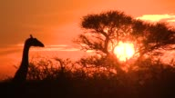 A solitary giraffe stands in silhouette against a blazing orange sky. Available in HD.
