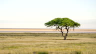 LS Solitary Tree In African Savannah