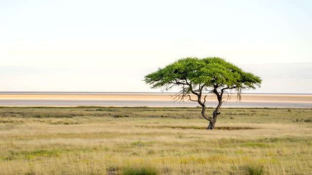 LS Solitary Tree In African Savannah