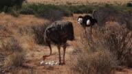 Somali Ostrich (Struthio camelus molybdophanes)  Male and female replacing  nesting shift