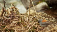 Song bird makes nest in snowfall, close up