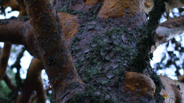 SCOTS PINE (Pinus sylvestris), PARQUE NATURAL LAGUNA NEGRA Y CIRCOS GLACIARES DE URBION - NATURAL PARK, Soria, Castilla y Leon, Spain, Europe