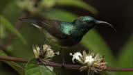 Souimanga sunbird (Nectarinia souimanga) feeds from flowers in forest, Madagascar