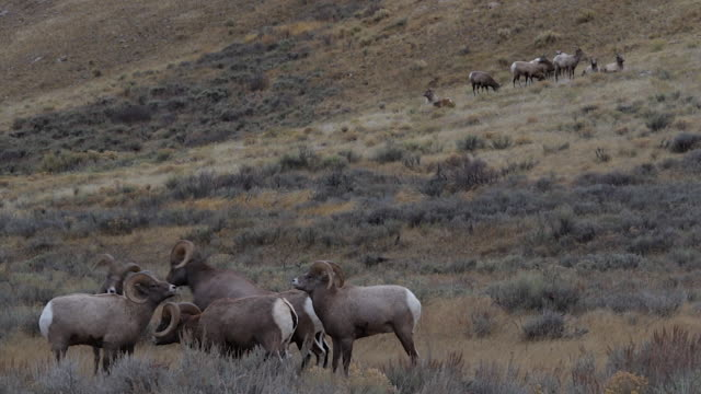 WS/+sound   shot of 7 bighorn rams (Ovis canadensis) head butting during the rut