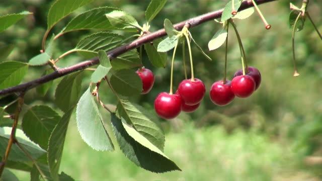 MS Sour cherries, prunus cerasus hanging on branch / Serrig, Rhineland-Palatinate, Germany
