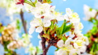 Sour cherry flower blooming against black background in a time lapse movie. Prunus avium growing in moving time lapse.