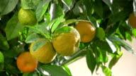 saure Orange Baum