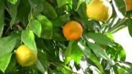 Saure Orange Tree