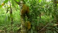 LS Soursop albero
