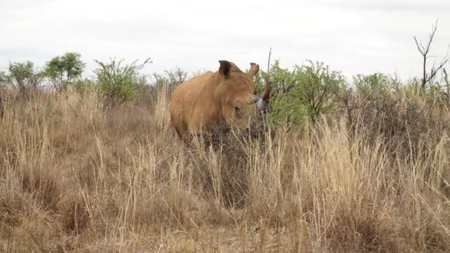 South African conservationists are poisoning rhino horns to make them harmful to humans CLEAN Poisoning rhino horns to prevent poaching on November...