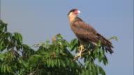 MS Southern Caracara (Caracara plancus) perching on treetop against blue sky / Pantanal, Mato Grosso do Sul, Brazil