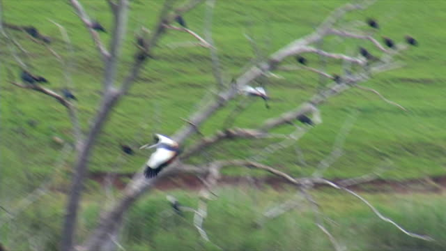 TS MS Southern Crowned Crane flying to perch on dead tree on dam / Utrecht/ KwaZulu-Natal/ South Africa