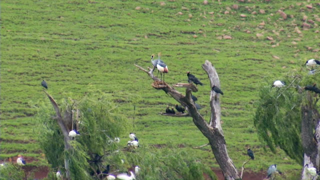 MS Southern Crowned Cranes perching on top branches of dead tree / Utrecht/ KwaZulu-Natal/ South Africa