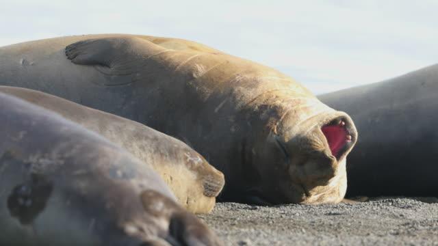 Southern Elephant Seal burping