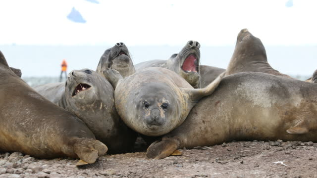 Southern Elephant Seal jumps and bounces on other seals