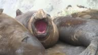 A Southern Elephant Seal yawns as a colony gathers for a nap. Available in HD.