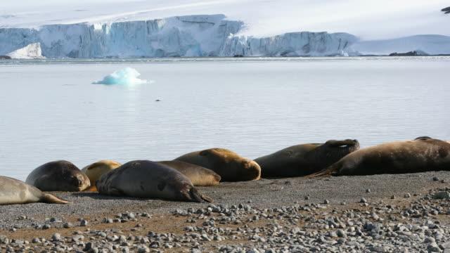 Southern Elephant Seals sleeping on an Antarctic beach