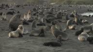 MS, PAN, Southern fur seals (Arctocephalus gazella) on beach, South Georgia Island, Falkland Islands, British overseas territory