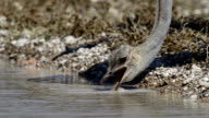 Southern ostrich drinking