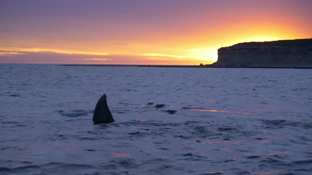 Southern right whales at sunset, slow motion