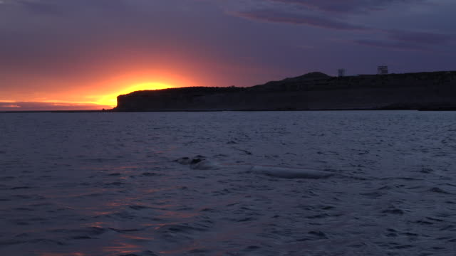 Southern right whales at sunset