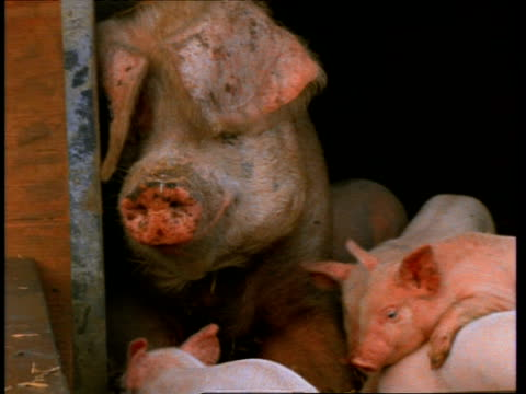 CU sow being mobbed by piglets, England, UK