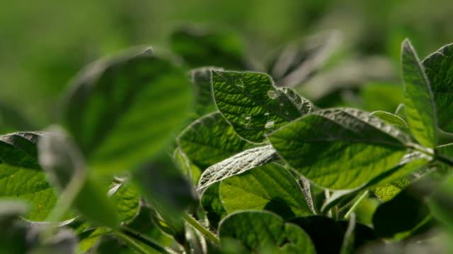 Soybean Leaves