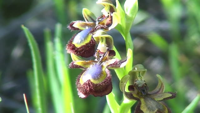 Spanische Orchid