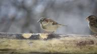 Sparrows eating suet