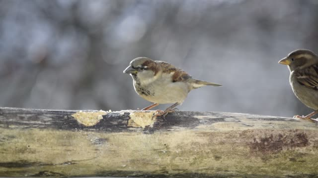Sparrows eating suet