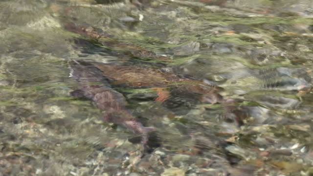 Spawning cutthroat trout fish Yellowstone National Park underwater