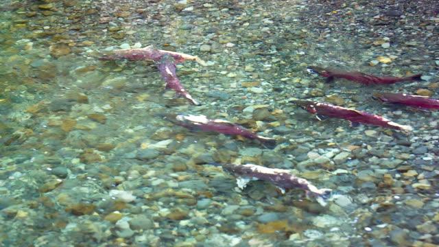 Deposizione di uova di pesce Salmone