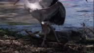 A spectacled caiman attacks a wood stork chick and drags it into the water. Available in HD.