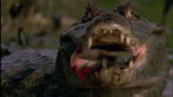 Spectacled Caiman eats Red bellied Piranha Available in HD.