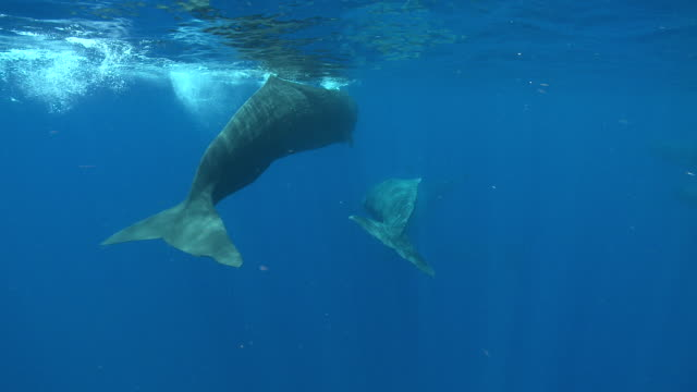 MS TS Sperm whale family group / Caribbean, Dominica