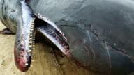 Sperm whale fetus detail