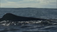 Sperm whale (Physeter macrocephalus) hump and dorsal fin, New Zealand