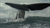 Sperm whale (Physeter macrocephalus) lifts its tail, New Zealand