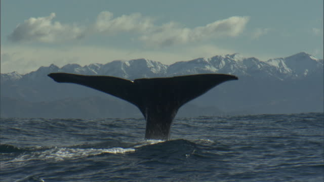 Sperm whale (Physeter macrocephalus) spouts and lifts its tail, New Zealand