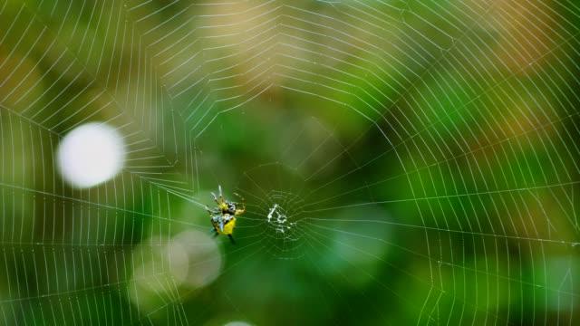 Spin (Hosselt van Spiny Spider) bouwen van een web in bos, Thailand.