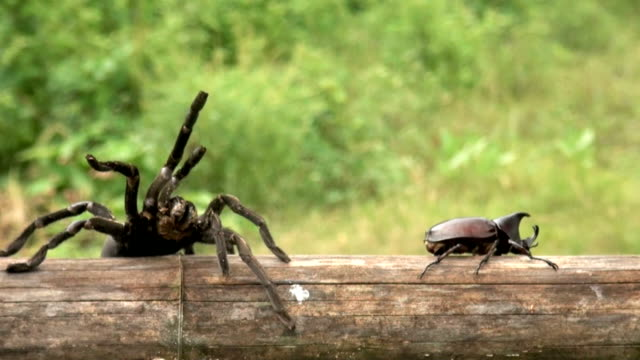 spider charching rhino stag beetle