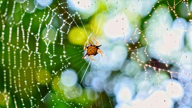 Spin (Hosselt van Spiny Spider) schone it'self op web in bos, Thailand.