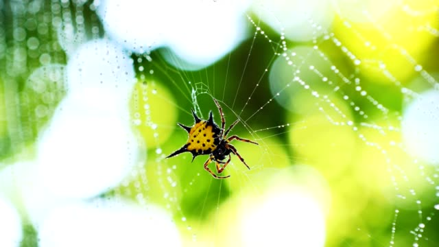 Spider (Hosselt's Spiny Spider) clean it'self on web in forest, Thailand.