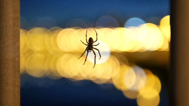 4K: Spider in spider web at night