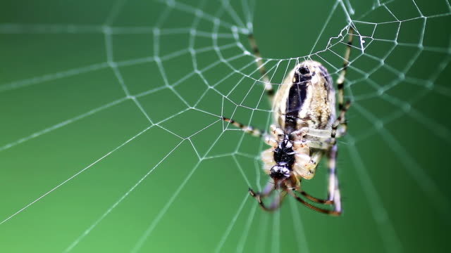 Spider in the web, Macro