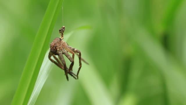 Spider molts