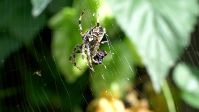 Spider on the spider web in 4K
