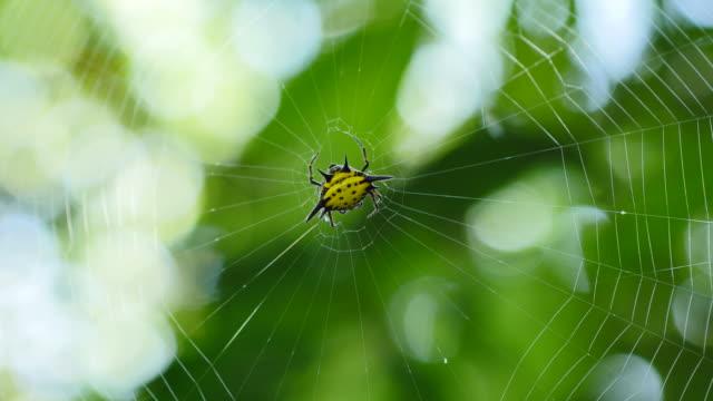 Spin (Hosselt van Spiny Spider) op web in bos.