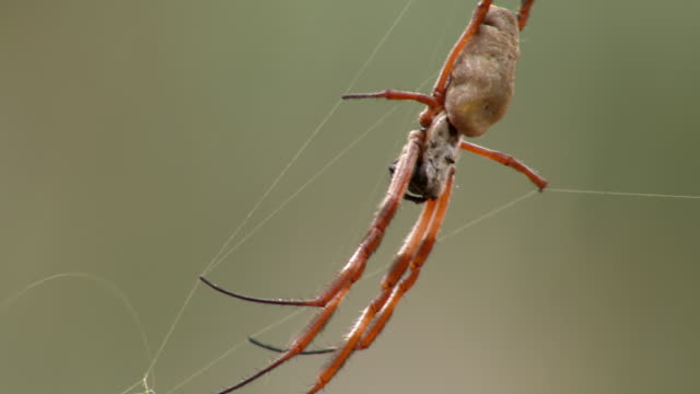 CU Spider on web / Mutawintji National Park, New South Wales, Australia