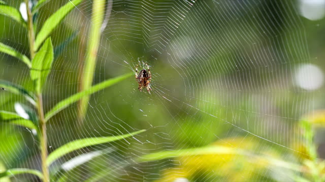 Spider sits on its spider web and waits for prey.